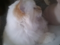 Pepites d'or birman red tabby